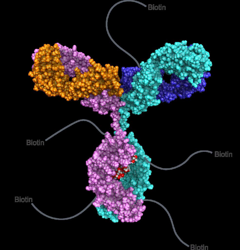 Biotinylated antibody