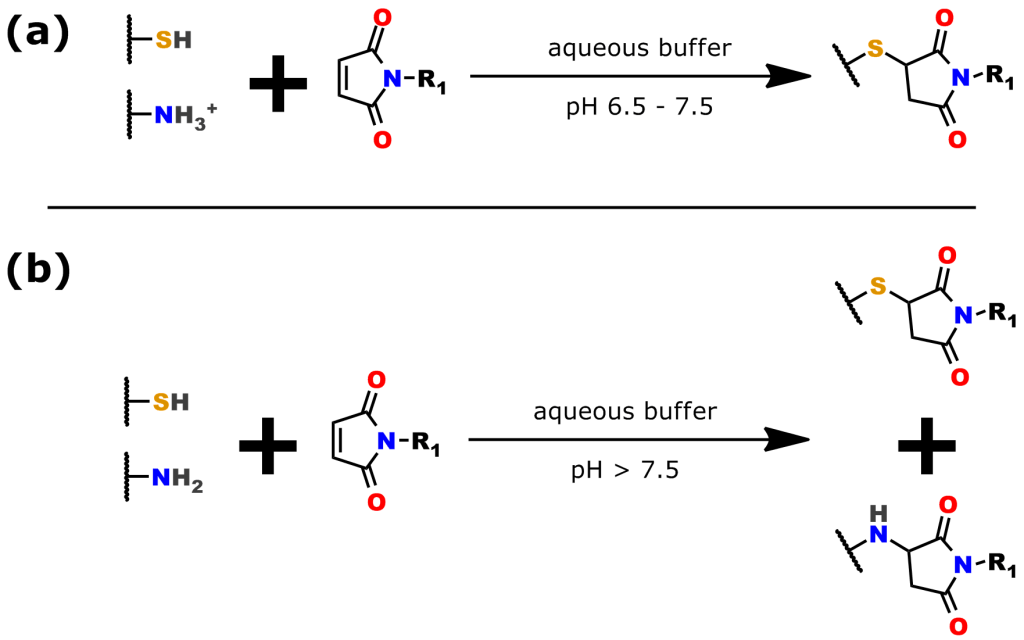 Figure 4: The thiol-maleimide reaction. (a) The reaction is chemoselective for thiols from pH 6.5 - 7.5. (b) Above, pH 7.5, thiol chemoselectivity is lost and the maleimide moiety begins reacting with free amines (e.g., lysine).